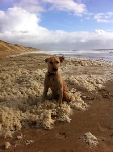 chien renifleur punaises plage